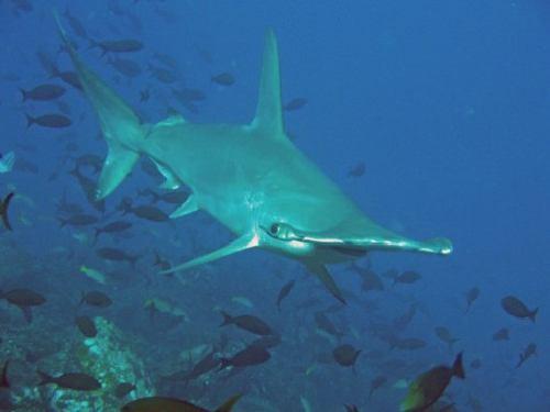 199,Quelques-sites-de-plongee-a-Isla-de-Cocos
