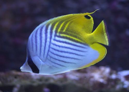 802,poisson-papillon