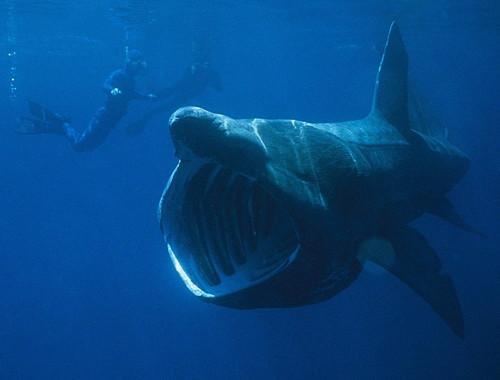 909,requin-pelerin