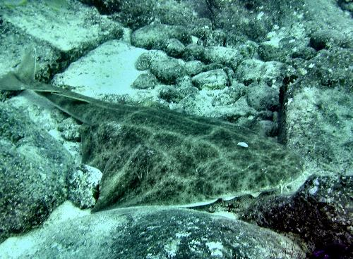 223,requin-ange-a-Tenerife