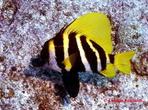 695,poisson-sanglier