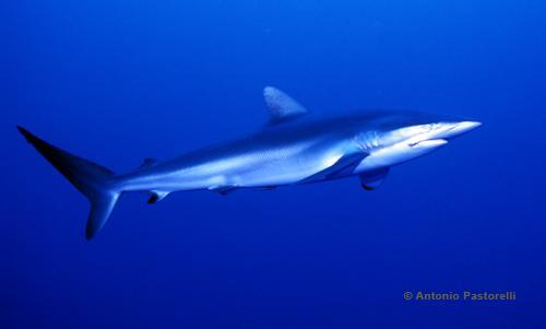 693,requin-soyeux
