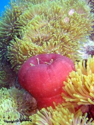 286,anemone