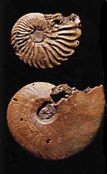 530,ammonite