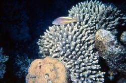 117,corail