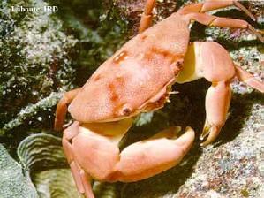 231,crabe