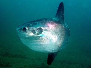 486,poisson-lune