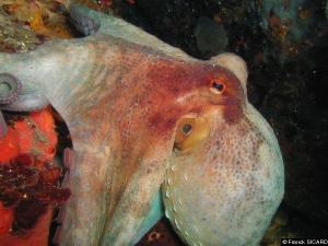 135,octopode