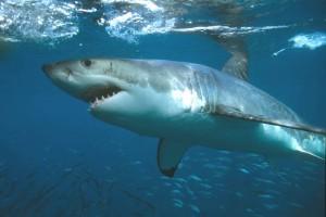 39,requin